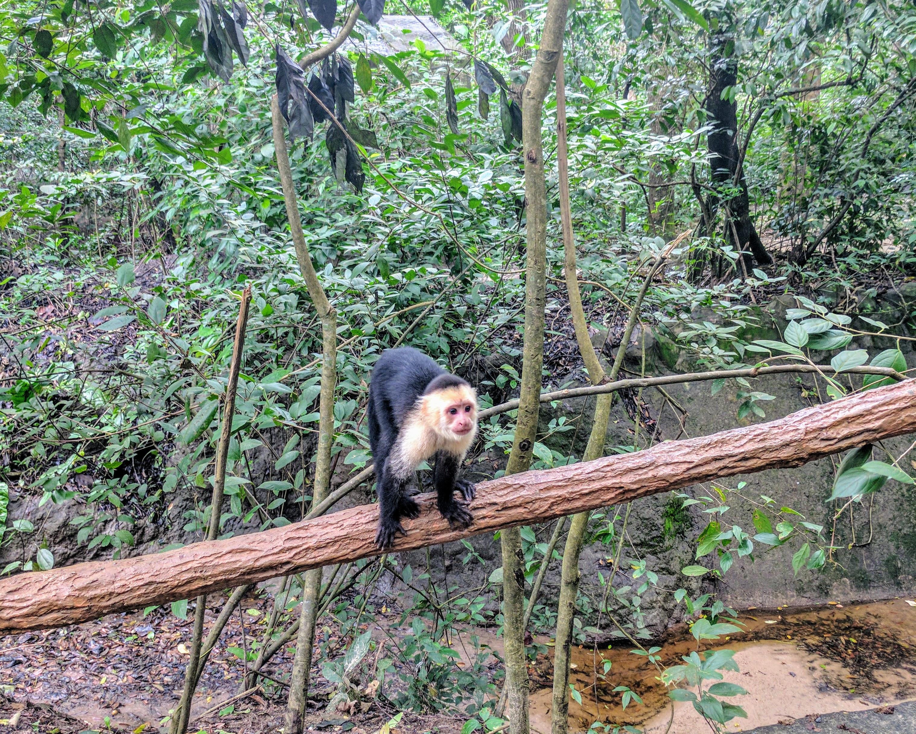 spider monkey in nature