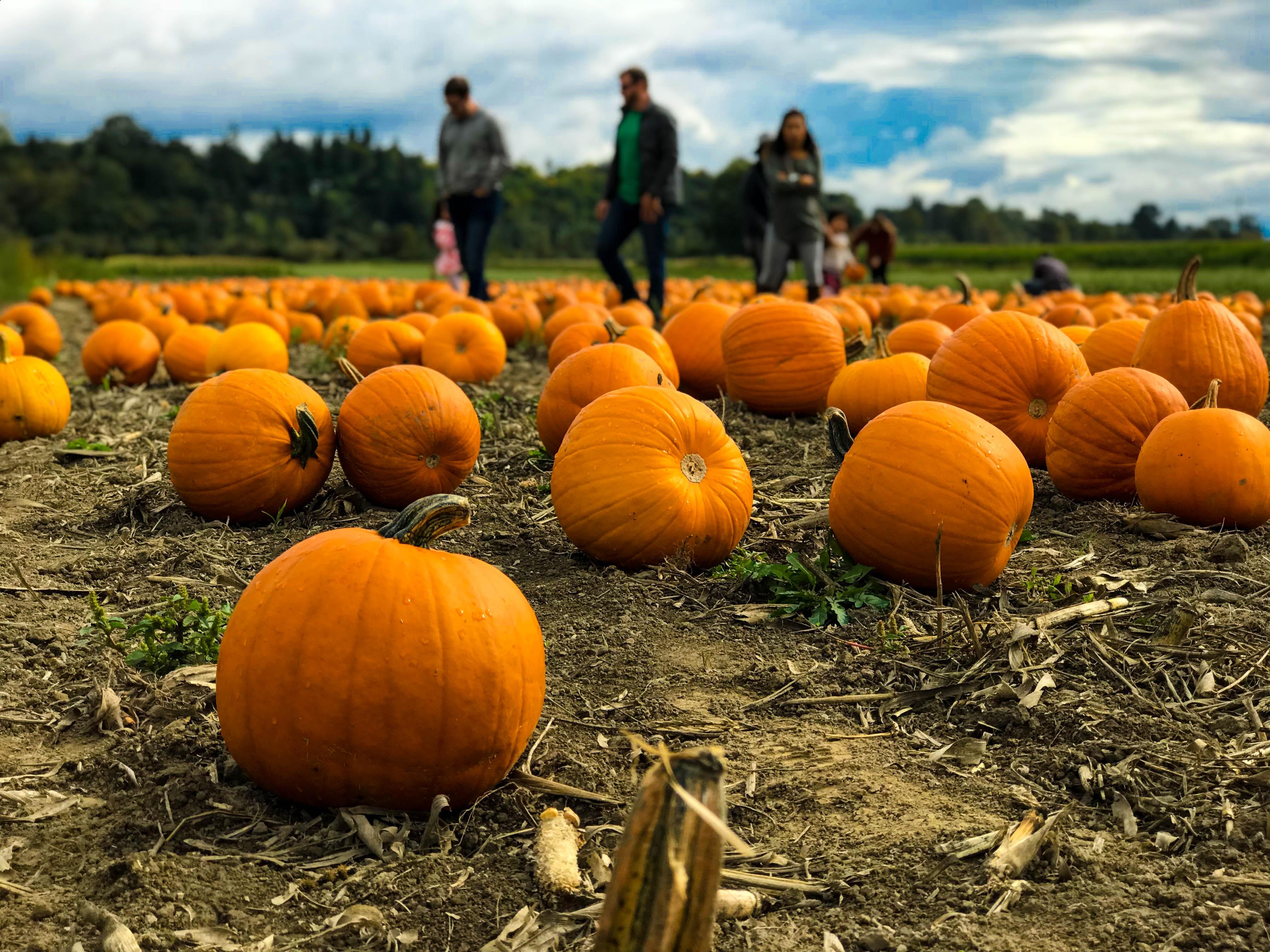 Family walking through a pumpkin patch