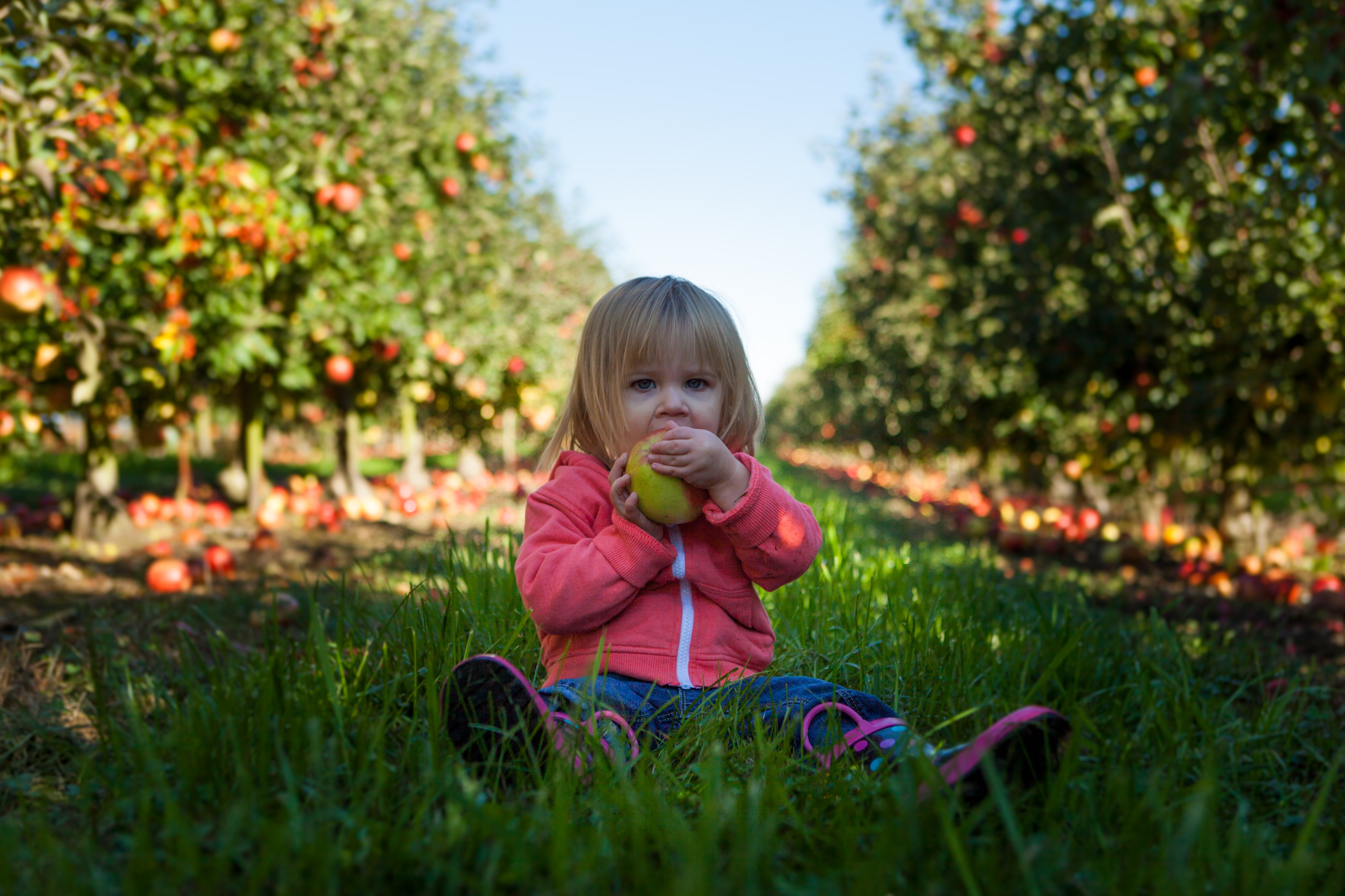Little girl eating an apple in an orchard