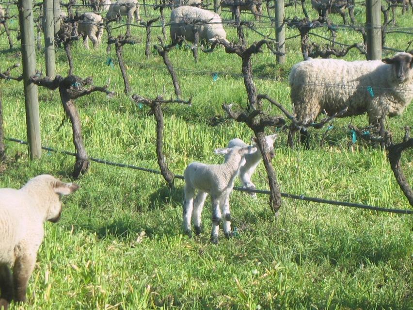 Sheep at Cline Cellars
